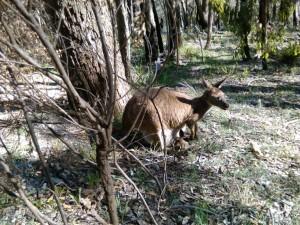 023 Kangaroe met joey